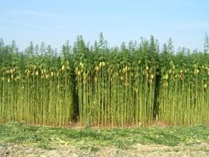 New Law Allows Colorado Hemp Crop