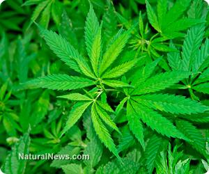 Cannabis-Drug-Marijuana-Plant
