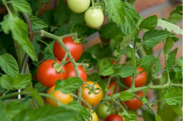 Tomatoes_604