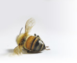 Bee Population Has Declined 40% – 60%: Here's How to Revive It