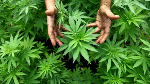 epa03462089 (FILE) A file photo dated 31 August 2010 shows a worker tending to cannabis plants at a growing facility for the Tikun Olam company near the northern Israeli town of Safed, Israel. Reports on 07 November 2012 state that Colorado and Washington became the first US states to legalize cannabis for recreational use, while medical marijuana initiatives were on the ballot in Massachusetts, Montana and Arkansas.  EPA/ABIR SULTAN ISRAEL OUT