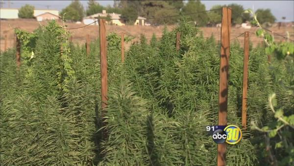 Sheriff's deputies bust a 10 to 20 acre marijuana grow in Fresno County
