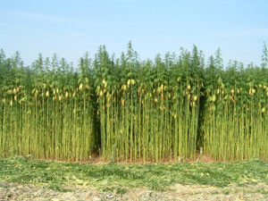 New Law Allows Colorado Hemp Crop