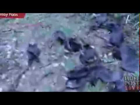 Why did 100,000 dead bats reportedly fall out of the sky in Australia?
