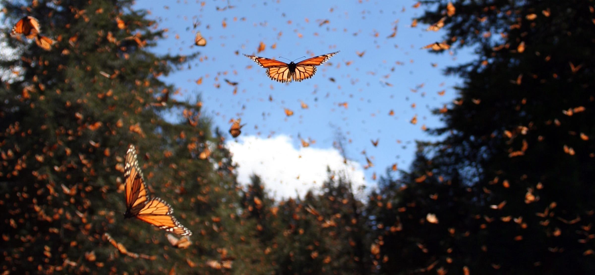 Mexico: Monarch Levels Rebound