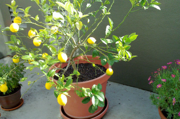 Lemon Tree_604