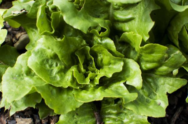 Lettuce_604