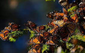 Mexico: Monarch Levels Rebound