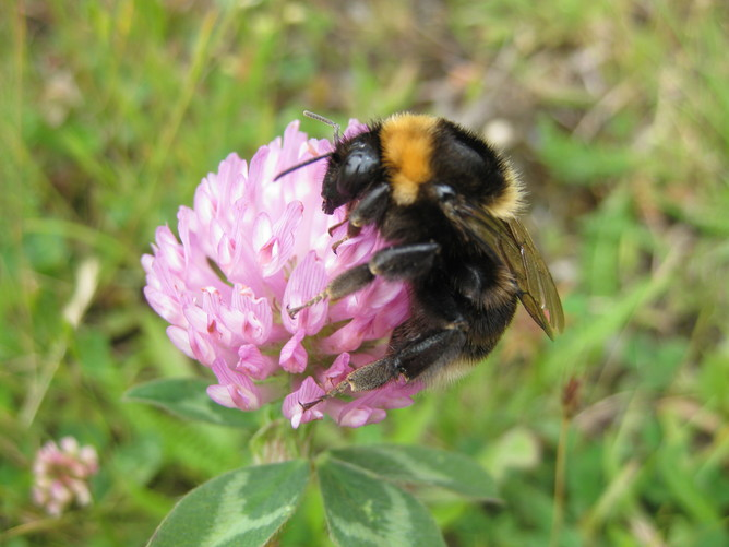 Bees declared extinct 30 years ago take to UK skies again – thanks to farmers