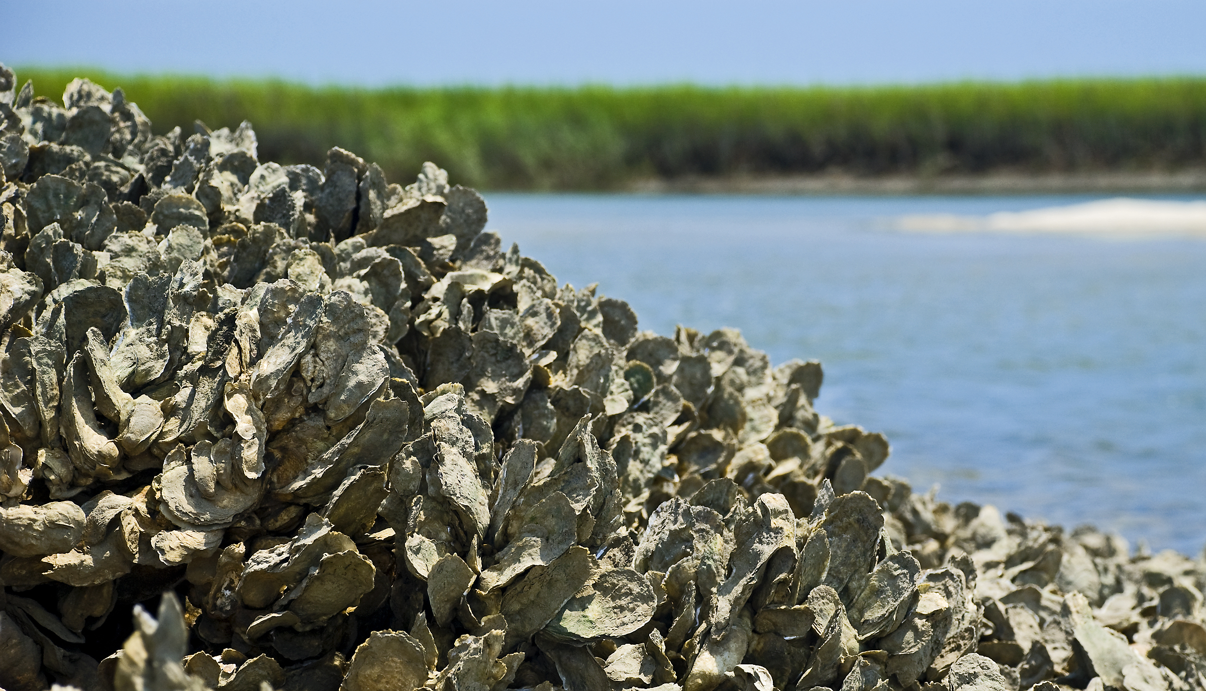Disbelief over state plan to spray neurotoxin into oyster beds
