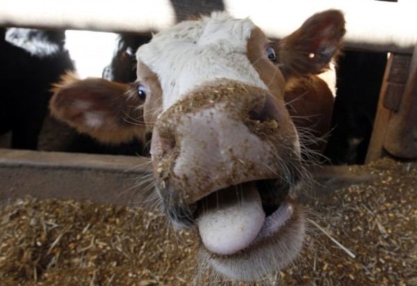 u-s-authorities-reported-countrys-first-case-mad-cow-disease-six-years-tuesday-swiftly