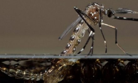 Dominica rejects use of genetically modified mosquitoes