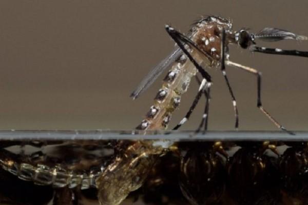 Oxitec-mosquito