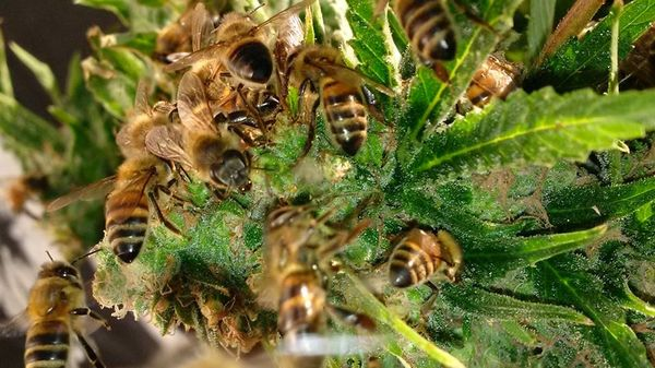 the Beekeeper That Has Managed to Get His Bees to Make Honey with Cannabis Resin