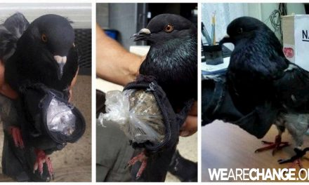 Black Pigeon Caught Smuggling Drugs into a Costa Rica  Prison