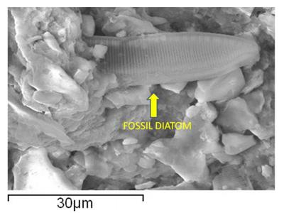 Fossil Diatom