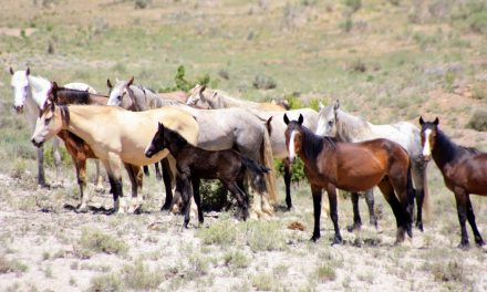Federal Agency Votes To Slaughter 65% of The Wild Horses In The U.S.