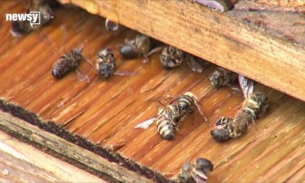Millions of Bees Dead After South Carolina Sprays for Zika Mosquitoes