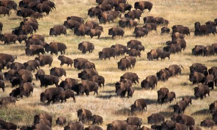 Legend of The Brave Buffalo; Thousands of Wild American Bison Appear at Standing Rock.