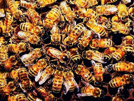 How to Survive in a Honeybee Democracy without Losing Identity to the Hive
