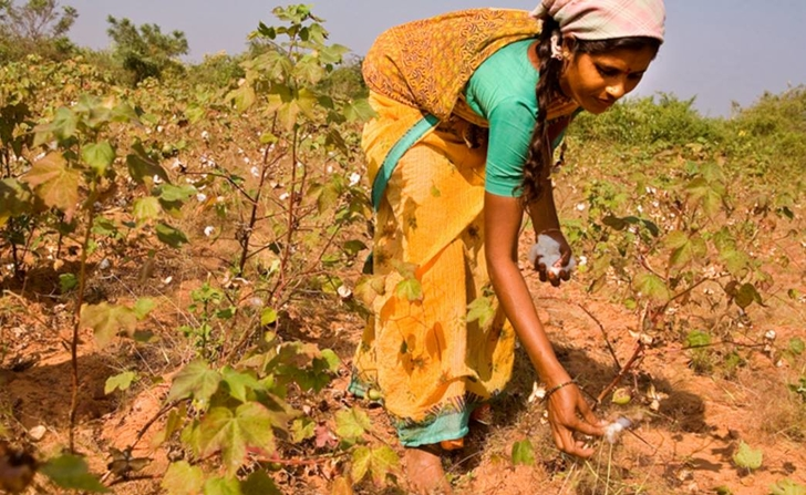 Monsanto Has Lost $11 Million As Indian Cotton Farmers Begin To Use Indigenous Seed